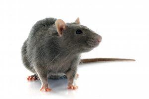 best rat poison